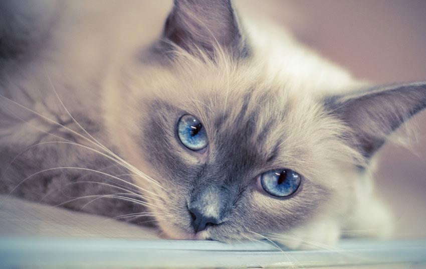 Urn kat ragdoll raskatten overleden hond De Duurzame Kaart