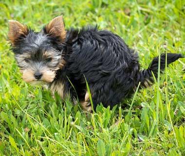 Hondenpoep Yorkshire terrier opruimplicht honden De Duurzame Kaart