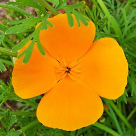 Slaapmutje california poppies De Duurzame Kaart