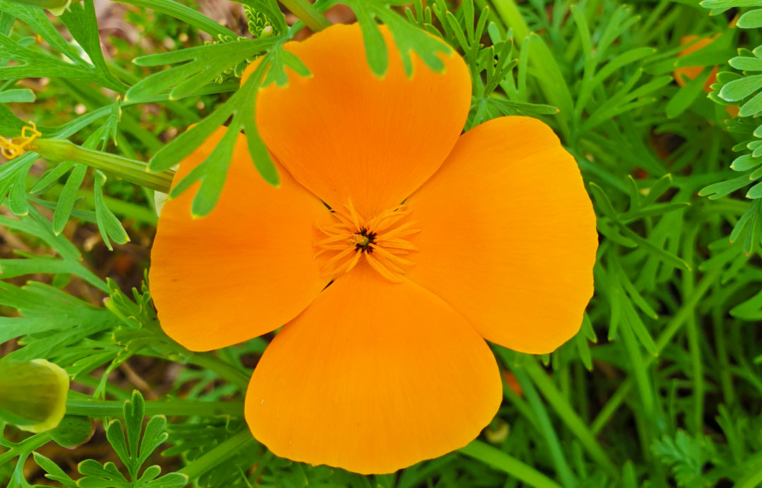 Slaapmutje california poppy natuurlijk plantaardig