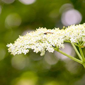 Vlierbloemen eetbaar recept wildpluk De Duurzame Kaart
